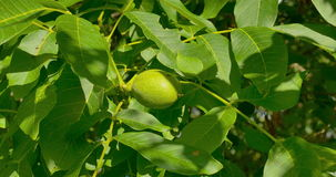 Some green walnuts in tree. Walnuts are rounded, single-seeded stone fruits of the walnut tree. Some green walnuts in tree. Single-seeded stone fruits of the stock video