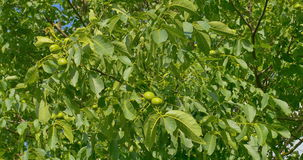 Some green walnuts in tree. Walnuts are rounded, single-seeded stone fruits of the walnut tree. stock video