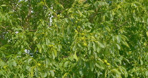 Some green walnuts in tree. Walnuts are rounded, single-seeded stone fruits of the walnut tree. Some green walnuts in tree. Single-seeded stone fruits of the stock video footage