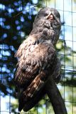 Some grey owl (Strix nebulosa). As nice majestic bird stock images