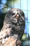 Some grey owl (Strix nebulosa). As nice majestic bird royalty free stock images