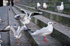 Some Gulls. Standing on dirty stone steps royalty free stock photos