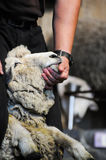 Some guy is cutting sheep wool to be clothes. Sheep farming is a significant industry in New Zealand. According to 2007 figures reported by the Food and Royalty Free Stock Photos