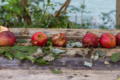 Some hale damaged red apples. Some red apples with hale damage on a wooden pallet Stock Images