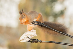 Some helping hands. Close up of  a red squirrel on black skeleton arms and a animal skeleton head Stock Photos