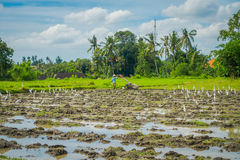 Some herons eating small animals in green rice field, rice in water on rice terraces, Ubud, Bali, Indonesia.  stock photo