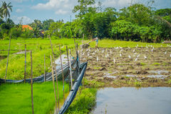 Some herons eating small animals in green rice field, rice in water on rice terraces, Ubud, Bali, Indonesia Royalty Free Stock Images