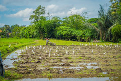 Some herons eating small animals in green rice field, rice in water on rice terraces, Ubud, Bali, Indonesia Stock Photo