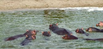 Some Hippos waterside  in Africa Stock Images