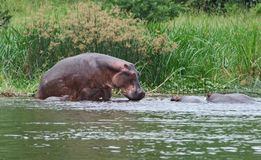 Some Hippos waterside  in Africa Stock Image