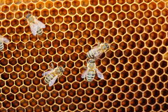 Some honey bees Stock Photos