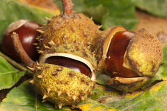 Some Horse chestnuts. On colorful foliage as close up view Stock Photo