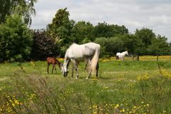 Some horses. A few horses standing in a meadow stock images