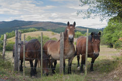 Some horses in a field. Farmland. Some horses looking from a fence in a field. Farmland Royalty Free Stock Photo