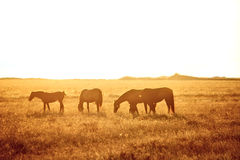 Some horses grazing Royalty Free Stock Photos