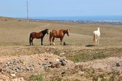 Some horses are grazing on a plateau on Lanzarote, Canary Islands, Spain. Royalty Free Stock Photo