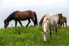Some horses grazing on the shore of Lake Baikal. Siberia stock images