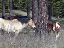 Some horses by a tree. Some horses are standing near a tree in a pasture in north Idaho Royalty Free Stock Image