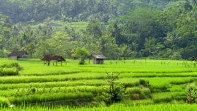 Some huts are in the fields. Hut located in the middle of rice fields Stock Images