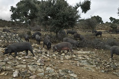 Some Iberian pigs in the pasture. Some iberian pigs eating acorn from the trees in the pasture Royalty Free Stock Image