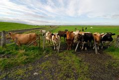 Some Icelandic cows in a farm, Iceland royalty free stock image