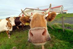 Some Icelandic cows in a farm, Iceland royalty free stock photos