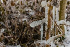 Some icicles on a tree. Icicles on branches, frozen water Royalty Free Stock Photos