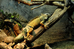 Some iguana and turtles Stock Photography