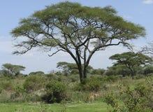 Some Impalas in the savannah. Some Impalas in tanzanian vegetation (Africa stock photos