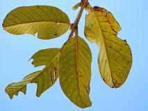 Some imperfect green Leaves in autumn. Blue sky in the background royalty free stock photography