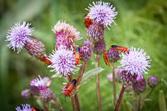 Some insect. Insect easy to find in Tuscany, summertime Royalty Free Stock Image