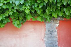 Some ivy leaves falling on a damaged salmon color wall. Empty copy space. For Editor`s text stock image
