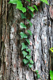 Some ivy on a tree trunk. Some green ivy on a tree trunk royalty free stock image