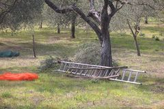 Ladders and tarpaulins during the harvesting of olives Stock Photo