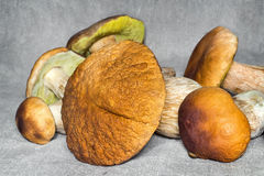 Some large edible mushrooms. Royalty Free Stock Images