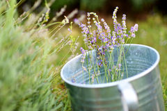 Some lavender in a bucket Royalty Free Stock Photo