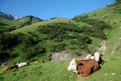 Some lazy cows. On a field in the mountains royalty free stock photo