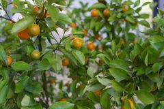 Some lemons and oranges on tree. Lemons on a tree for very nice juice or just as fruits royalty free stock photo