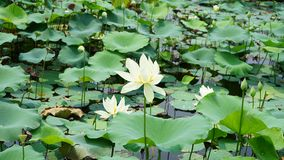 Some lily flowers are floating in pond. Many white lily flower are standing in water in summer.the flower is colorful and the leaves are green.The leaf and royalty free stock photography