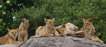 Some lions lie on a big rock. Kenya. Tanzania. Maasai Mara. Serengeti. An excellent illustration stock image