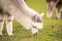 Some llamas standing in the meadow and eating grass. Several animals on pasture eat grass and feel comfortable royalty free stock photo