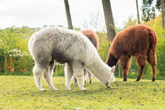 Some llamas standing in the meadow and eating grass. Several animals on pasture eat grass and feel comfortable Royalty Free Stock Image