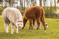Some llamas standing in the meadow and eating grass. Several animals on pasture eat grass and feel comfortable royalty free stock images