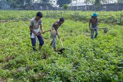 Some Local child farmers are in winter, potato gathering in their field in Thakurgong, Bangladesh. The potato ranks first among the world`s most important food Royalty Free Stock Photo