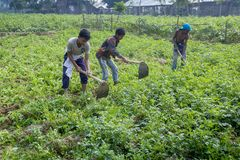 Some Local child farmers are in winter, potato gathering in their field in Thakurgong, Bangladesh. The potato ranks first among the world`s most important food Stock Photo