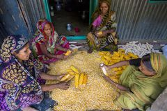 Free Some Local Women Collecting Corn, Manikgonj, Bangladesh. Stock Images - 104148864