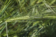 Some long barley spikes. Royalty Free Stock Images