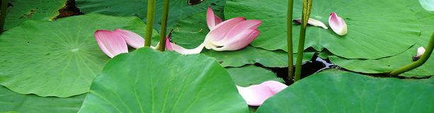 Some lotus flower petals in summer. The leaf is green and flower is pink.they fell lonely stock photography
