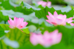 Some lotus flowers. Some beautiful pink lotus flowers in the pond royalty free stock images