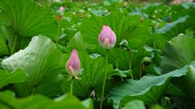 Some lotus flowers and buds are standing in pond. Many pink lotus flower and buds are standing in water in summer.the flower is colorful and the leaves are green royalty free stock images